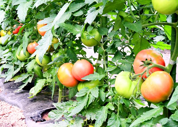 飛騨高山 HASEGAWA~no! 大玉トマト 樹成り 収穫開始 高冷地育ち 感動トマト 産地直送 ハセガワーノ